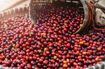 Close-up fresh arabica coffee bean, red cherry