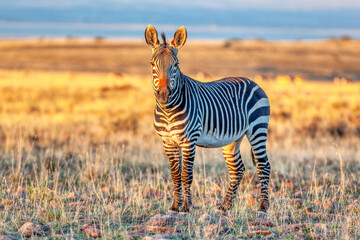 An alert Cape mountain zebra (Equus zebra) in the Mountain Zebra National Park, South Africa.