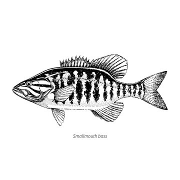 Smallmouth bass hand drawn outline vintage vector illustration. Isolated on white background.