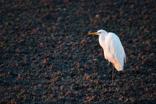 A great white heron (ardea alba) standing in the light of the late afternoon sun