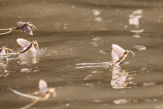 Annual swarm of long-tailed mayfly on Tisza river in Serbia.