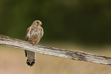 Wall Mural - Female Kestrel perched on a fence post with a green background.
