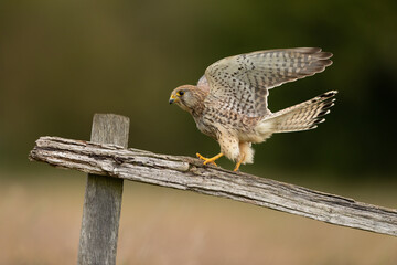 Wall Mural - Female Kestrel perched on a fence post with wings outstretched.