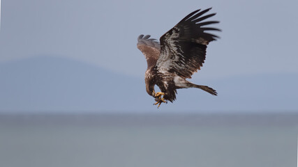 Juvenile Bald eagle in flight with prey in talons Fotomurales
