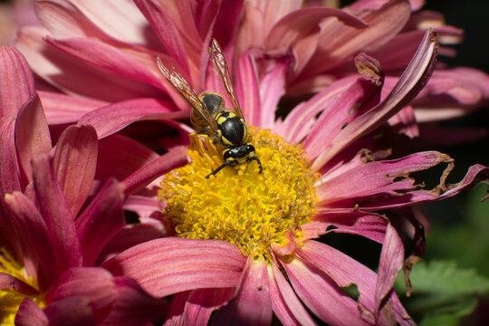 Yellow jacket wasp collecting pollen