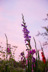 gladiolus with pink sky at dusk 3