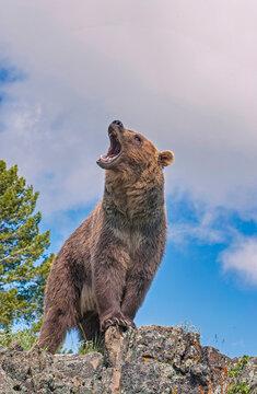 Grizzly bear roar