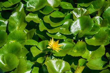 Foto op Plexiglas Waterlelies Water lilies aquatic plant that comes out in the river with a nice yellow flower