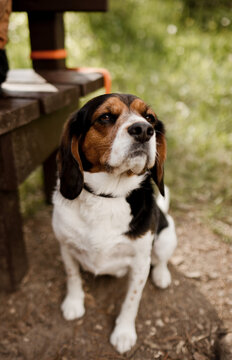 Beagle dog sitting with his owner by the bench in the summer