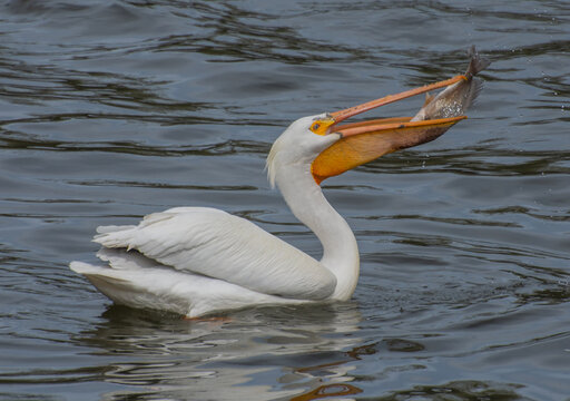 White Pelican swallowing a fish on the Fox River in Appleton, Wisconsin.