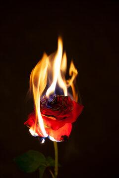 Burning Red Rose on black background