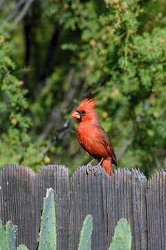 Scarlet Cardinal Perched on Fence Tucson Arizona