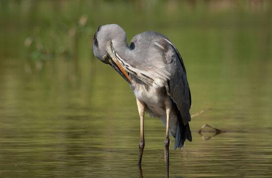 Grey heron (Ardea cinerea), real wildlife - no ZOO