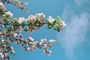 Apple blossoms and blue sky. Spring flowers in lighten color sky. Image with space for text.