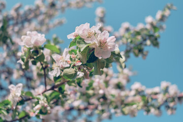 Apple blossoms and blue sky. Spring flowers in lighten color sky.