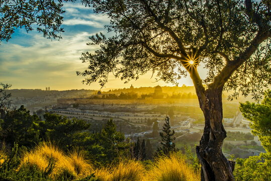 Beautiful sunlit view of Jerusalem's Old City landmarks: Temple Mount with Dome of the Rock, Golden Gate and Mount Zion in the distance; with sun busting through olive tree branches on Mount of Olives