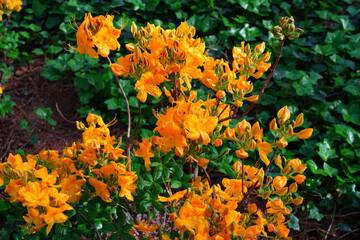 Fiery orange deciduous azalea flowers