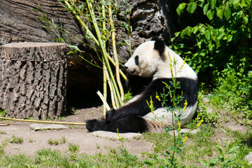 Aluminium Prints Panda Cute panda in the zoo.