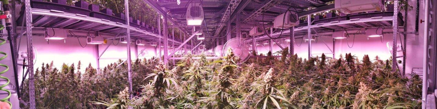 Marijuana garden indoor grow area under artificial lights