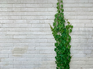 ivy on a white brick wall