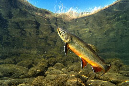 Big Brook trout (Salvelinus fontinalis) swimming in nice river. Beautiful Brook charr close up photo. Underwater photography in wild nature. Mountain creek habitat.