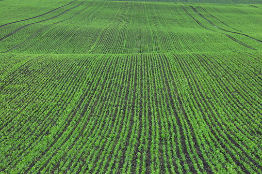 Rows of young green pea seedlings on the field near the farm. Agriculture