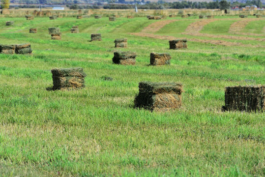 Newly baled hay in field awaiting collection for storage.