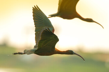 Silhouette of a black-tailed Ibis flying in the evening