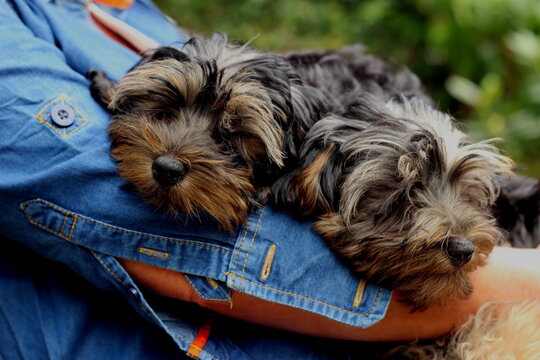 Two young Yorkshire terrier / poodle cross puppies asleep in their moms arms