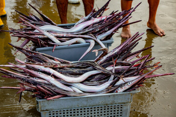 Baskets of needle nose garfish freshly caught, ready for gutting