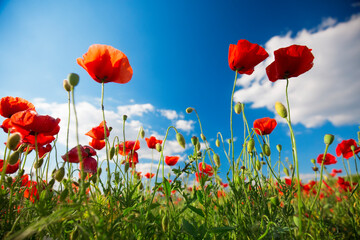 Foto op Canvas Poppy Beautiful and colorful poppy field