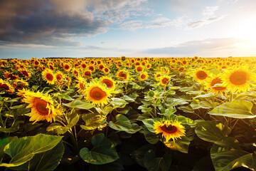 壁紙(ウォールミューラル) - Bright yellow sunflowers glow in the sunlight. Blooming field closeup.