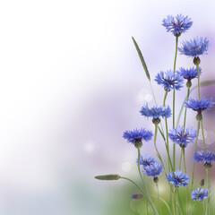 Cornflowers in field background