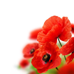 Poppy flowers in field background with copy space