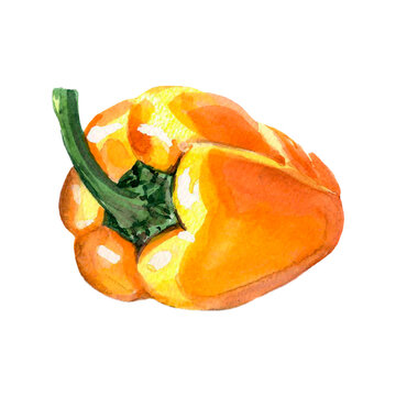 Watercolor yellow pepper. Raster vegetable illustration for a cookbook, ingredients of recipes, advertising, cards for children and botanical magazines. Natural and organic agriculture.