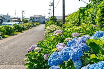 【梅雨晴れ】田園地帯に咲くアジサイ