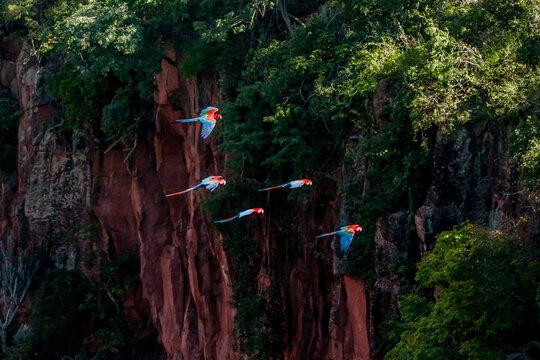 Araras voando na região de Jardim, estado do Mato Grosso do Sul, Brasil