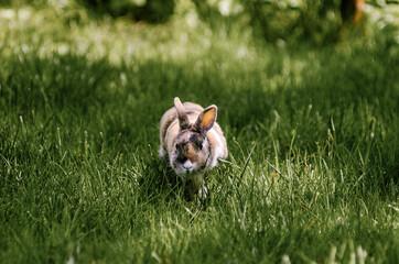 Obraz Mały królik z długimi uszami na trawiastym wybiegu - fototapety do salonu
