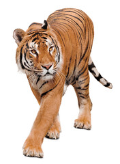 Photo sur Plexiglas Tigre Curious beautiful tiger isolated on white background