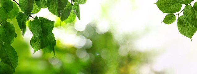 Tree branches with green leaves on sunny day. Banner design