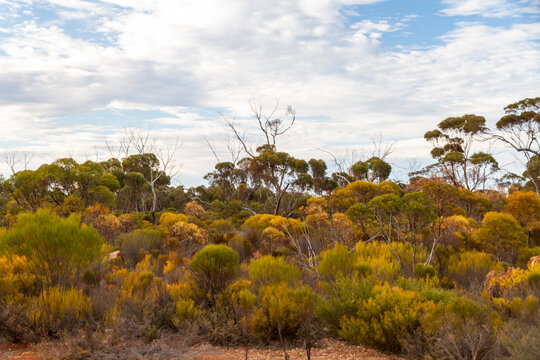 The unique and endemic Goldfields woodlands of Western Australia