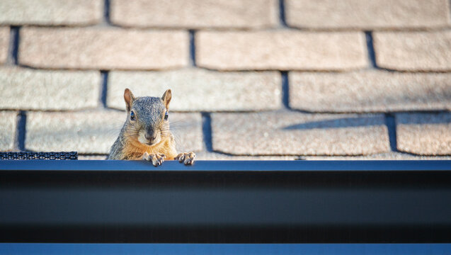 Squirrel peeking out from the gutter edge on the roof