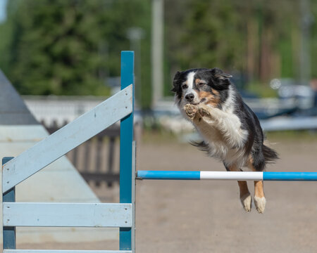 Border Collie jumps over an agility hurdle