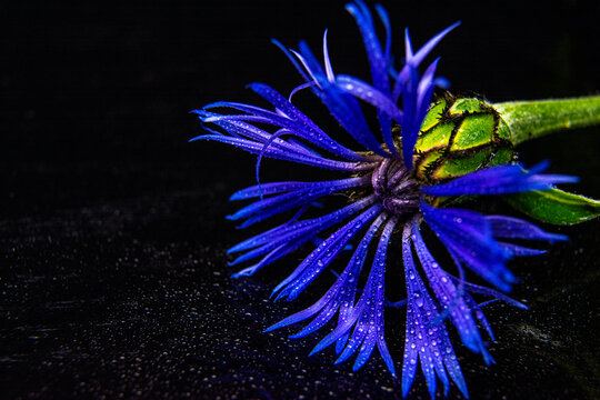 Cornflowers. Wild Blue Flowers Blooming. Border Art Design. Dark background. Close up Image. Copy space for text