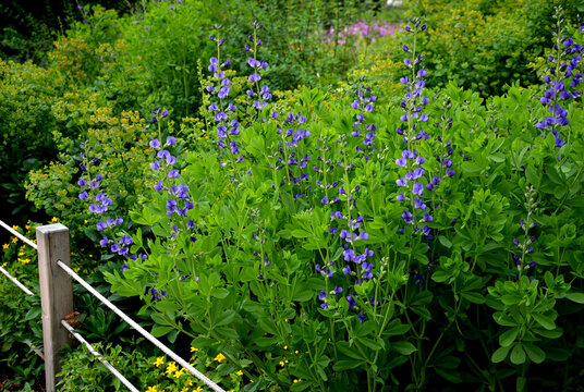 baptisia australis perennial herb prefers rich soil that retains moisture and habitat in the sun or partial shade. Under these conditions, it grows somewhere to the height of an adult.
