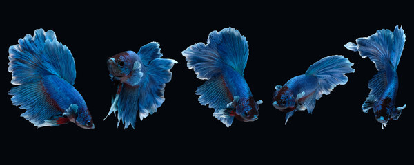Photo collage of betta siamese fighting fish (Halfmoon Rosetail in white blue color) isolated on black background