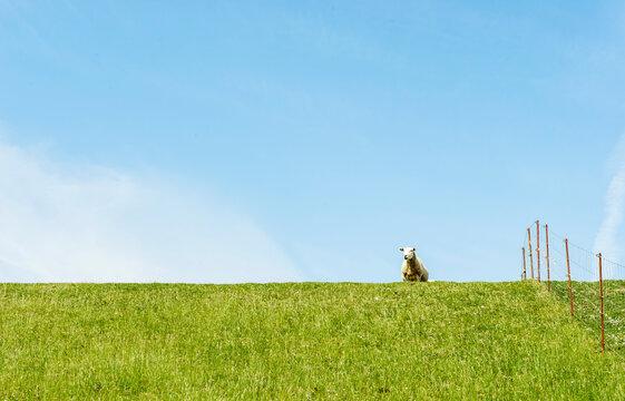 Schaf auf dem Deich bei Westerhever ,Nordsee Schleswig-Holstein, Deutschland