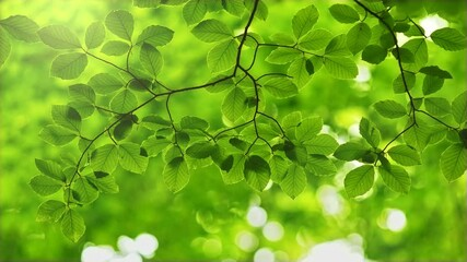 Wall Mural - Fresh green leaves on a tree. Rich green leaves of beech tree waving in the wind. Beautiful out of focus roundish boke. UHD