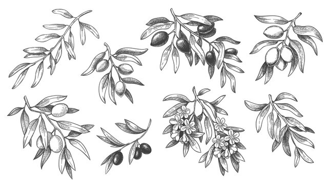 Engraved olive branch. Sketch branches with leaves and blossoms, hand drawn olives design element. Agricultural ripe plant or fruit isolated on white background vector illustration set.