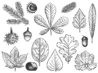 Wall Mural - Sketch fall leaves. Outlined autumn forest plants foliage such as october oak, acorn and chestnut, maple leaf vintage hand drawn etch vector rustic set isolated on white background.